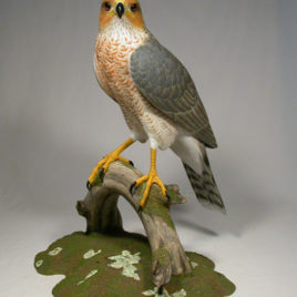 15″ Cooper's Hawk