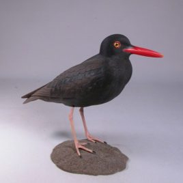 9″ Black Oystercatcher