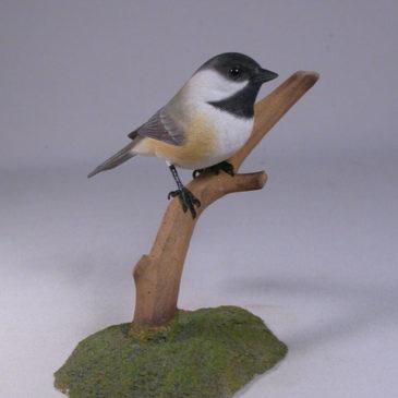 Black-capped Chickadee#8