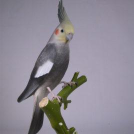 12-1/2″ Lutino Cockatiel