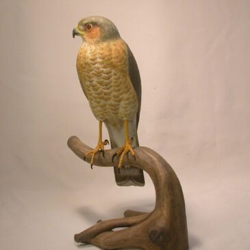 10 inches Sharp-shinned Hawk