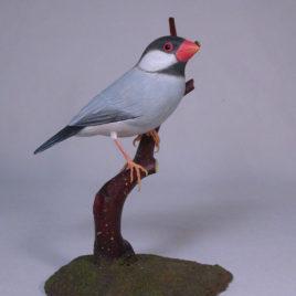 6″ Java Sparrow