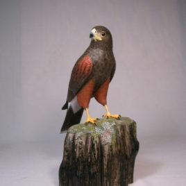 10 1/2″ Harris's Hawk