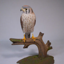9-1/4″ Female American Kestrel (the smallest and most common falcon)