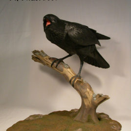 22 inches Common Raven