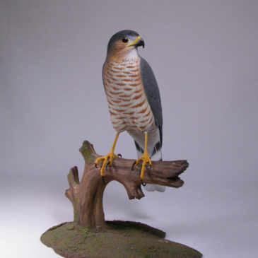9 inches Sharp-shinned Hawk