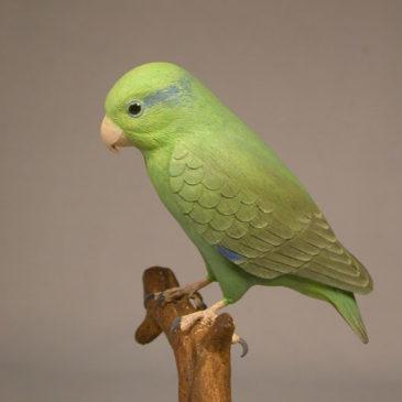 5″Celestial Parrotlet