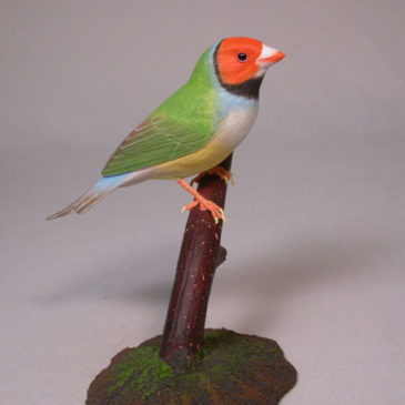 Gouldian Finch (white-breast) Red Head #2