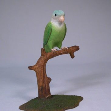 5″ Grey Cheek Parakeet