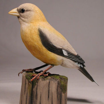 Evening Grosbeak (Female)#1