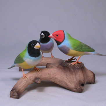 Gouldian Finches #5