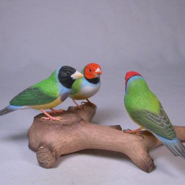 Gouldian Finches #6