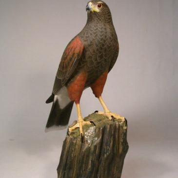 17″ Harris's Hawk