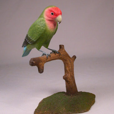 Peach-faced Lovebird #1