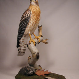 Life Size 15″ Red-shouldered Hawk