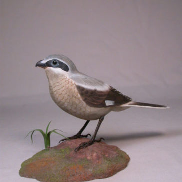 Loggerhead Shrike #2