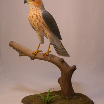 cooper-hawk1