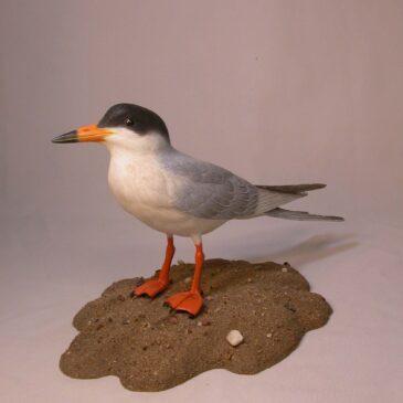 11″ Forster's Tern